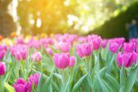 Fontos tudnivalók és érdekességek az őszi virághagymákról