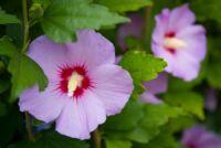 A kerti mályváról és gondozásáról bővebben